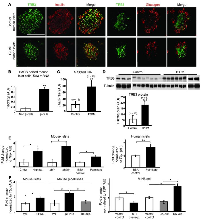 Regulation of TRB3 expression in human and mouse islets.     (A) Immunof...