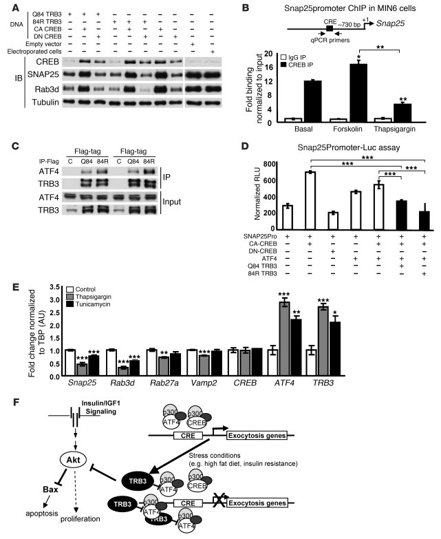 TRB3 and ATF4 inhibit expression of exocytosis genes. (A) Western blotti...