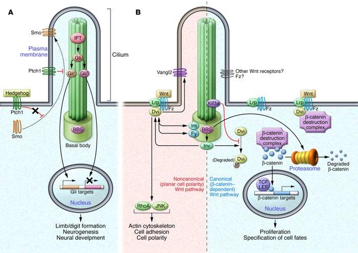 Ciliopathies - Molecular and Cellular Pediatrics