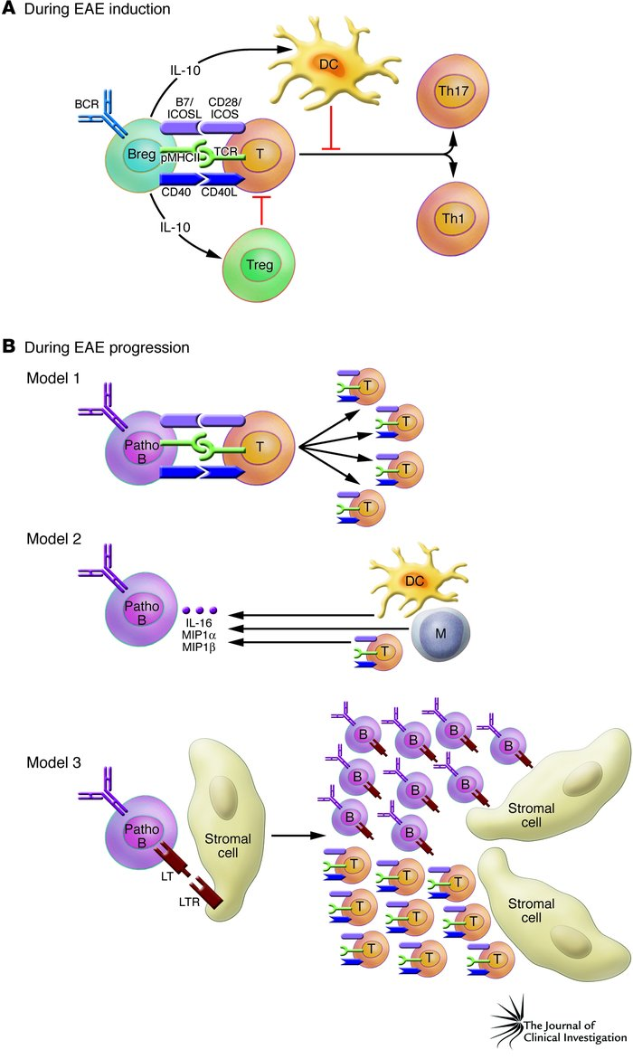 Potential mechanisms of pro- and antiinflammatory effects of B cells. (A...