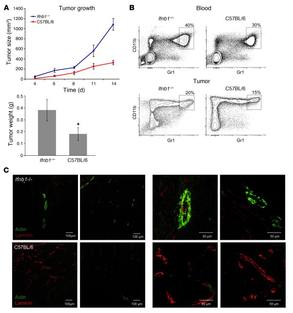 Enhanced MCA205 fibrosarcoma growth and angiogenesis in Ifnb1–/– mice.  ...