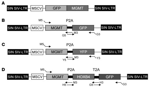 Vector constructs. (A) For the GFP-MGMT* SIV-based lentiviral vectors, e...