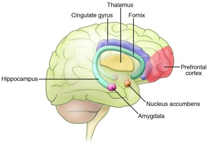 Schematic of neuroanatomical regions implicated in affective processes. ...