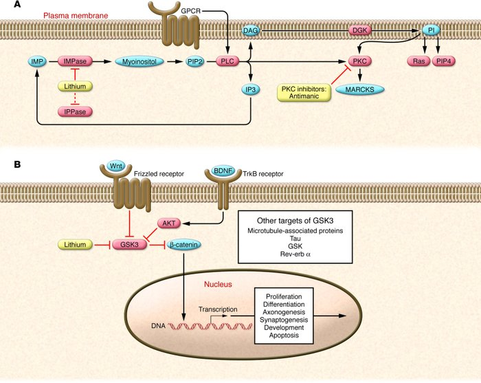 Overview of the PI and Wnt/GSK3 signaling pathways in the neuron. (A) Li...