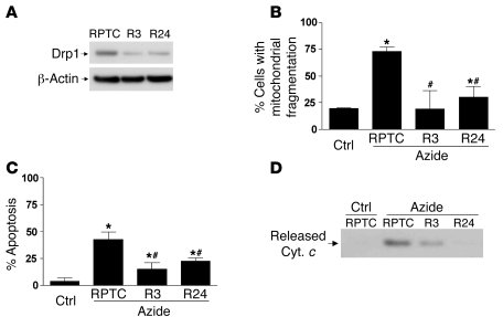 siRNA knockdown of Drp1 inhibits mitochondrial fragmentation, cytochrome...