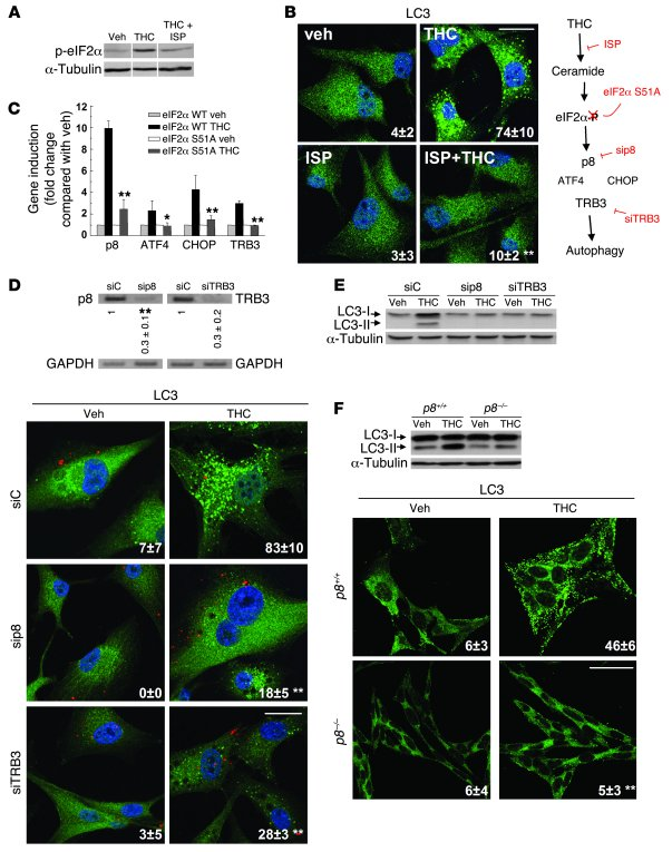 THC induces autophagy via ER stress–evoked p8 and TRB3                  ...