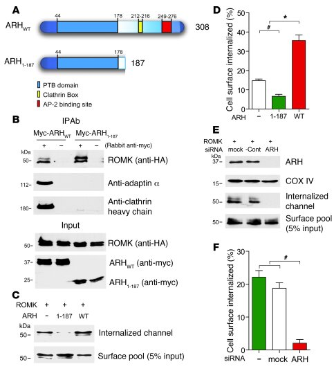 ARH couples YxNPxFV signal recognition to clathrin coated-pit localizati...