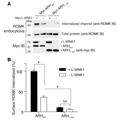 L-WNK1 stimulates ROMK endocytosis through an ARH-dependent mechanism. R...