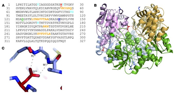 Protein modeling of AEP cleavage sites of ASNase. (A) Amino acid sequenc...