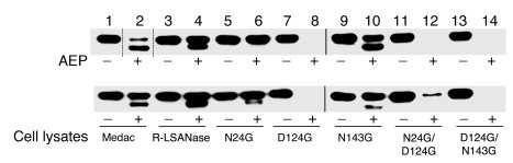 An N24G mutant resists AEP cleavage. Immunoblots of commercial (Medac) a...