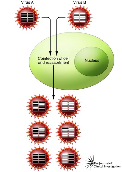Process of reassortment in influenza A virus. Reassortment occurs when 2...