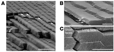Scanning electron micrographs of bovine lens fiber cells. The images ill...