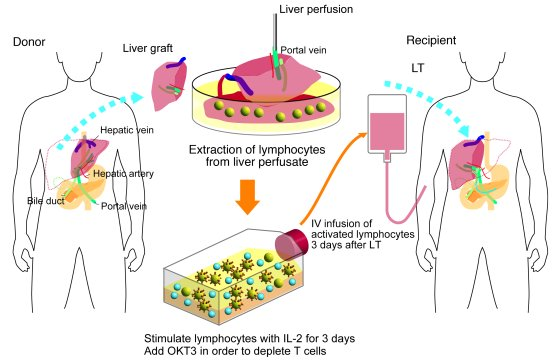 Schematic outline of adoptive immuno­therapy with lymphocytes extracted ...