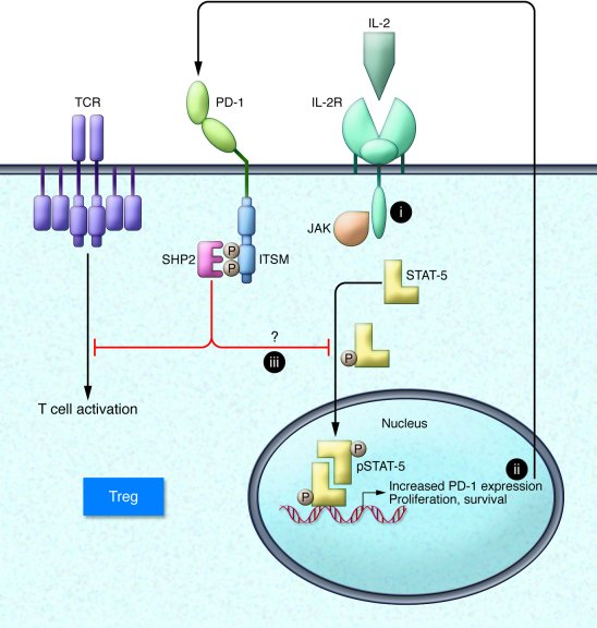 Pathway for inhibition of IL-2 signaling in Tregs by PD-1. PD-1 signalin...