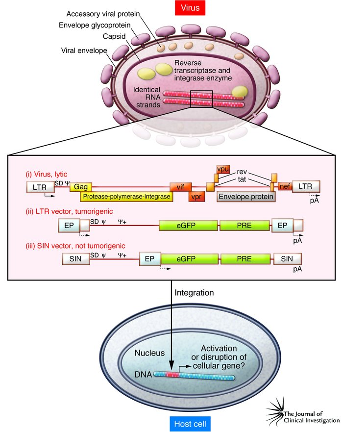 Oncogenic potential of integrating gene vectors. Schema of a lentiviral ...