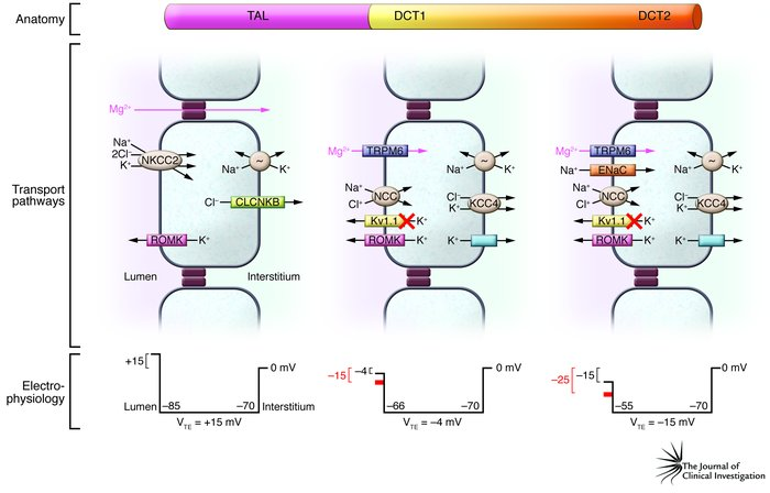 Jci the voltage gated k channel subunit kv11 links kidney and brain schematic diagram of the anatomy molecular pathways and electrophysiol ccuart Images