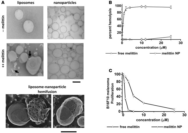 Synthesis of melittin-loaded nanoparticles and their interactions with r...