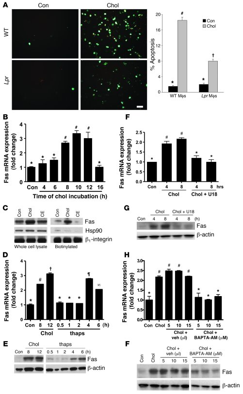 Proapoptotic Fas is induced by ER stress in a calcium-dependent manner. ...