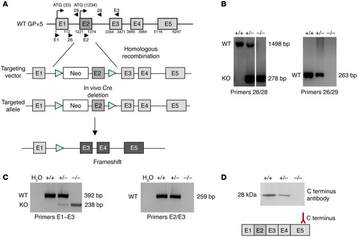 Generation of Gpx5-deficient mice.     (A) Schematic representation of m...