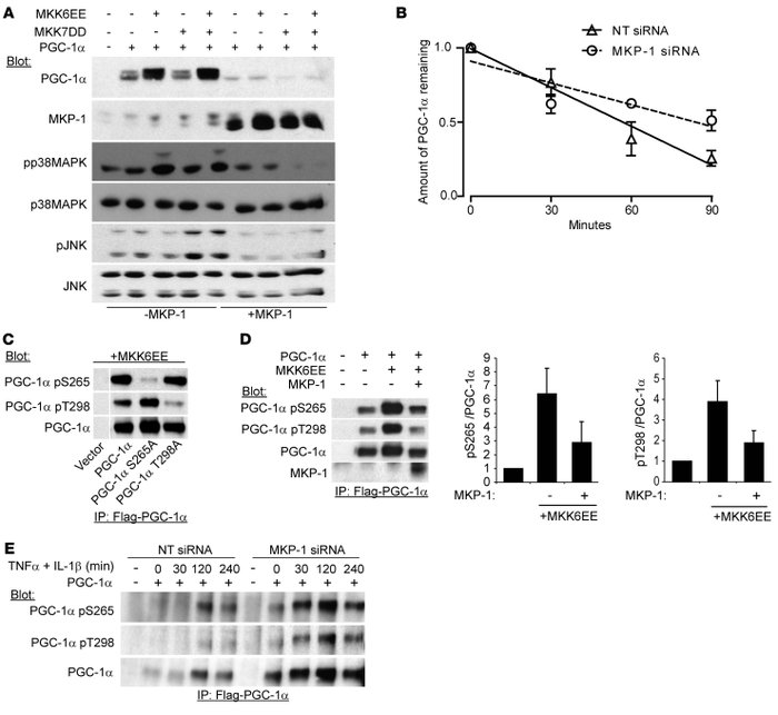 MKP-1 antagonizes PGC-1α phosphorylation and protein stability. (A) Flag...