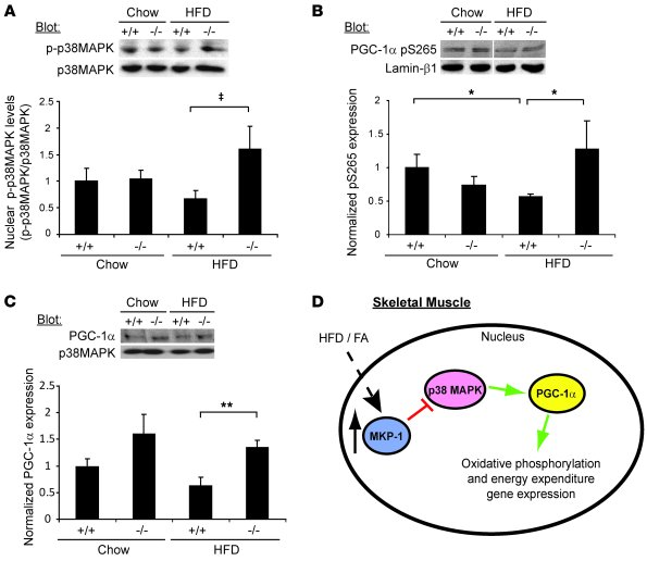 Enhanced PGC-1α expression and phosphorylation in mkp-1–/– mice.     (A)...