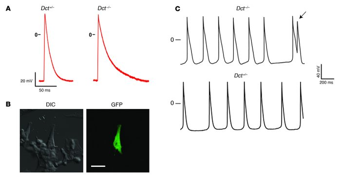 Dct–/– cardiac melanocytes demonstrate prolonged action potential durat...