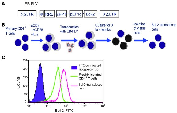 Generation of the Bcl-2–transduced primary CD4+ T cells.     (A) The str...