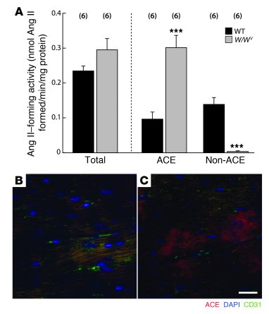 ACE and non-ACE Ang II–forming activities and ACE immunoreactivity in WT...
