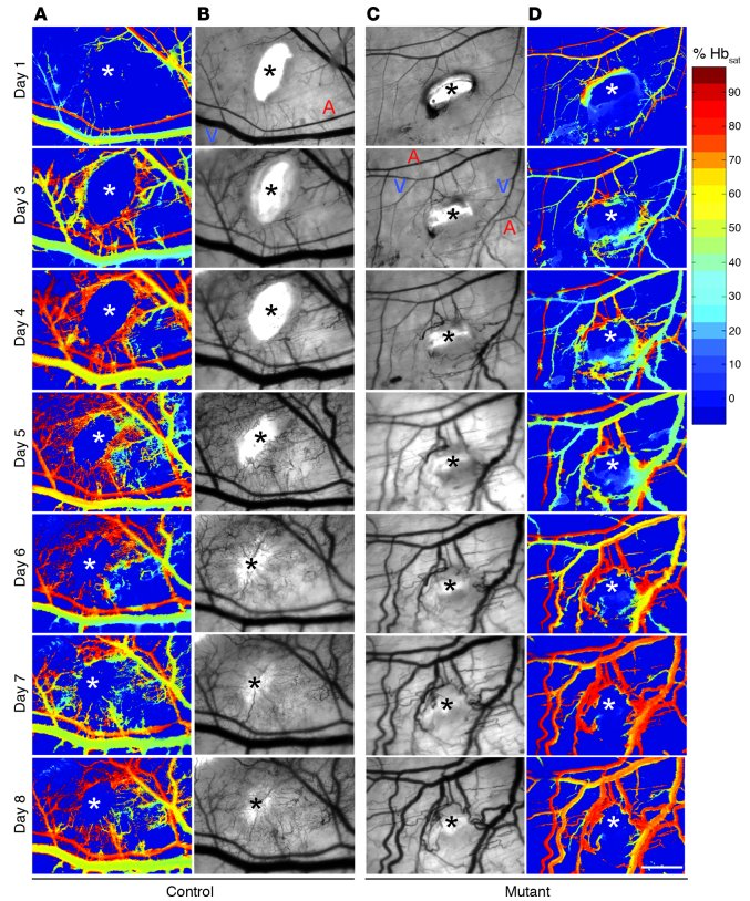 Intravital images of vascular morphogenesis responding to wound. The wou...