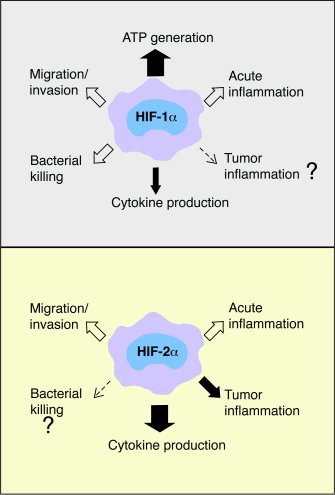 Model illustrating the roles of HIF-1α and HIF-2α in macrophages. HIF-1α...