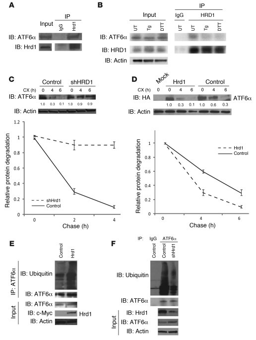 HRD1 is an E3 ligase for ATF6α. (A) HRD1 was subjected to IP from INS1 8...