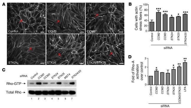 STK deficiency, like CCM deficiency, results in actin stress fiber forma...