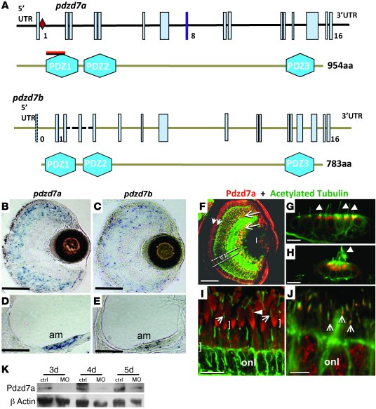 The pdzd7 gene is duplicated in zebrafish and expressed in sensory cells...