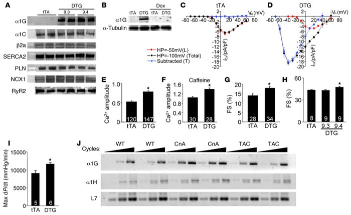 Generation of inducible transgenic mice with increased TTCC current. (A)...