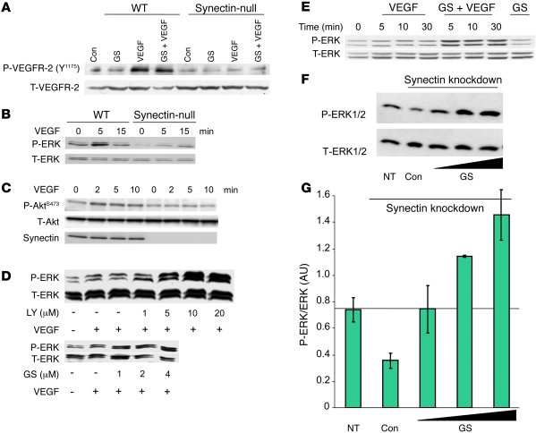 PI3K suppression activates ERK signaling in synectin-deficient AECs and ...