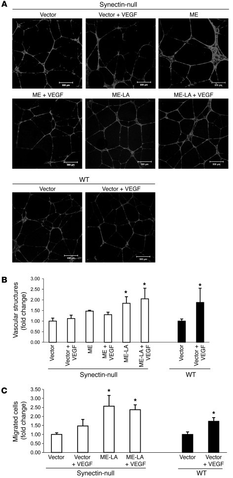 ERK activation restores functional defects in synectin-deficient AECs. (...