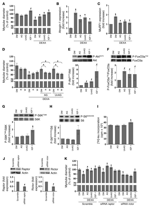 AG and UnAG protect C2C12 myotubes from dexamethasone-induced atrophy wi...