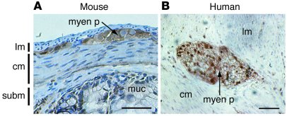 PTEN is present in the adult mouse and human ENS. Transverse sections of...