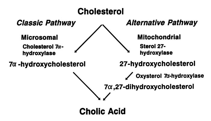 Flow diagram illustrating two pathways for bile acid synthesis. Choleste...