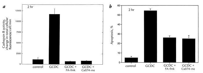 Cathepsin B activity increases during GCDC-induced apoptosis of McNtcp.2...