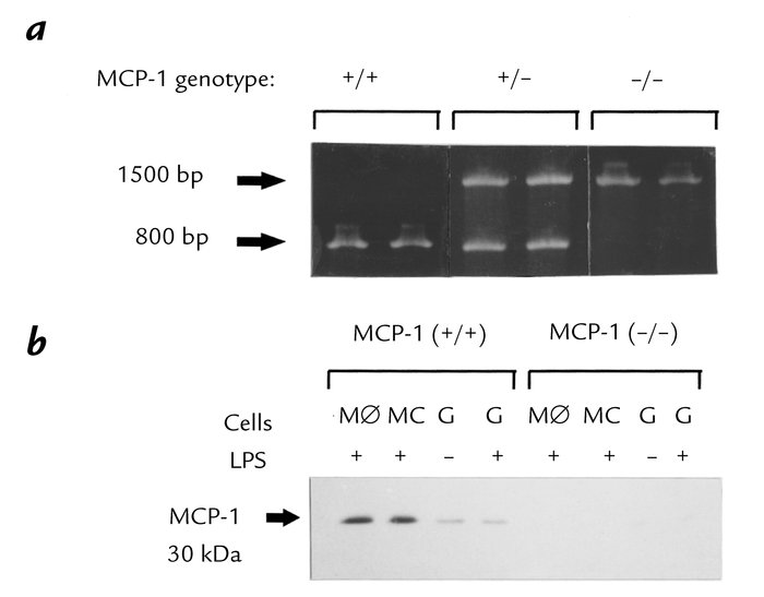 MCP-1–intact mice have nondisrupted MCP-1 DNA and express MCP-1 protein....