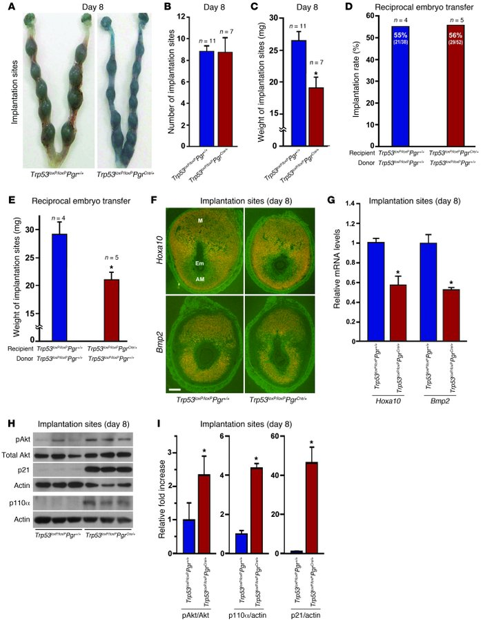 Uterine deletion of Trp53 restricts normal decidual growth.     (A) Repr...