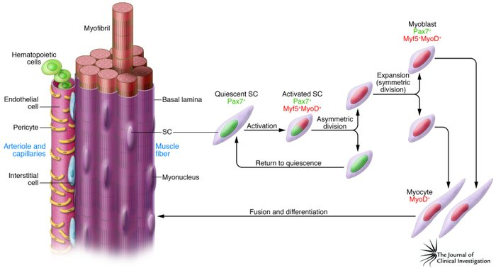 jci - repairing skeletal muscle: regenerative potential of, Muscles