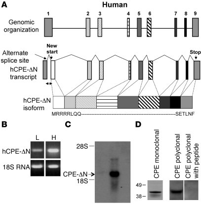 Schematic and characterization of ΔN-splice variant of CPE in HCC cells....