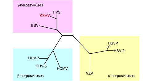 Phylogenetic tree of selected major herpesviruses. HSV, herpes simplex v...