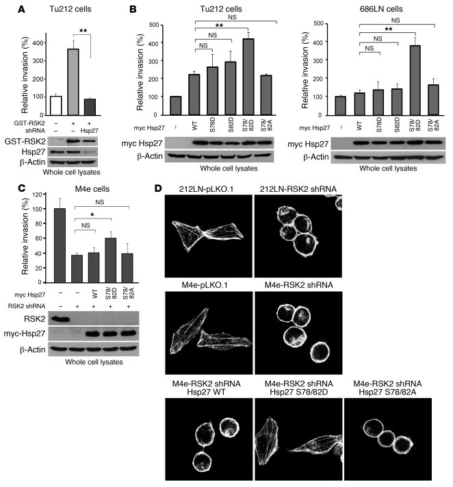 RSK2 promotes stabilization of actin filaments in HNSCC cells through ph...