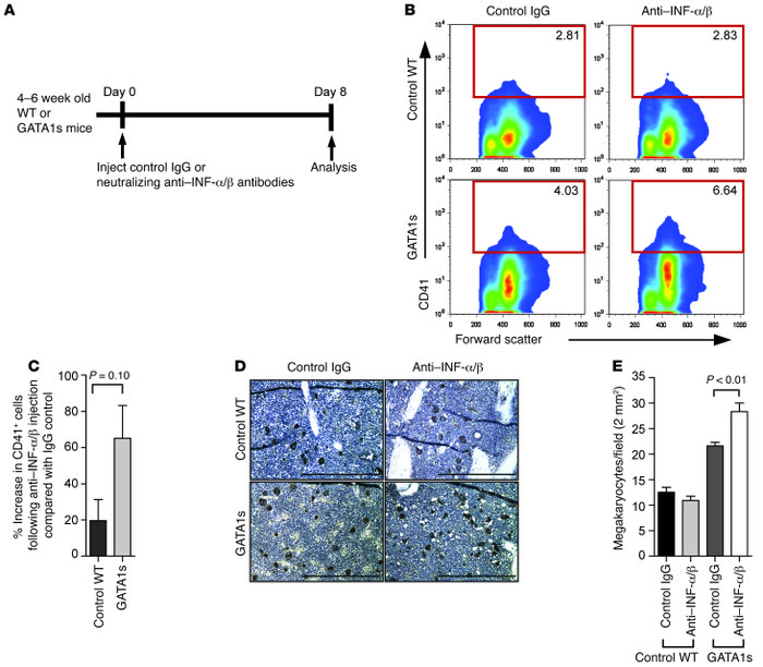 Expansion of BM Mks in GATA1s mice injected with neutralizing IFN-α/β an...