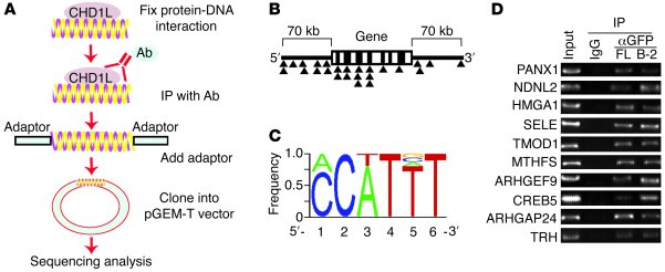 Identification of CHD1L target genes and the putative CHD1L-binding moti...
