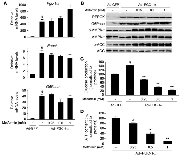 Forced expression of gluconeogenic genes does not prevent the metformin-...