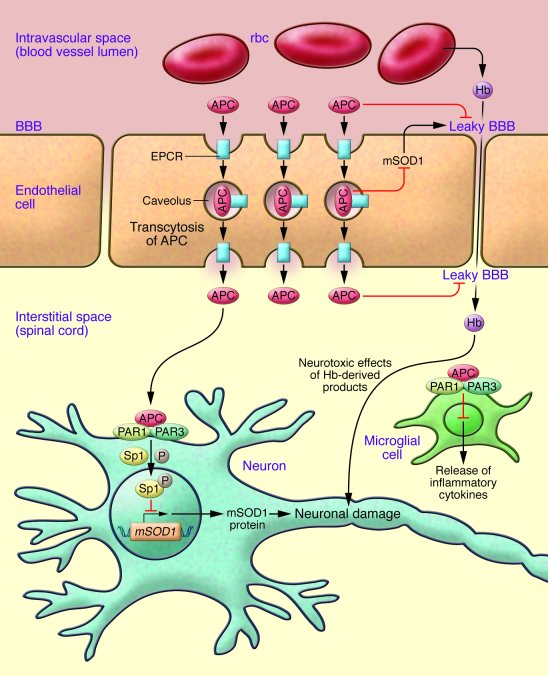 Potential mechanism for the protection of neural tissue in ALS. APC bind...